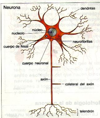 partes de una neurona