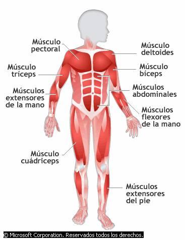 Los tipos de sistemas del cuerpo humano | Webscolar