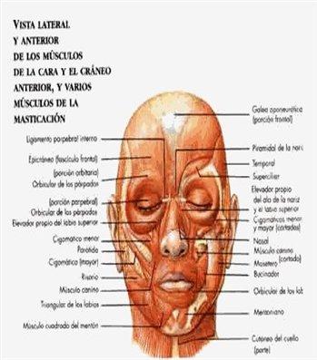 Sistema muscular y su aspecto macroscópico | Webscolar